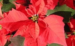 """""""Cuetlaxochitl"""" o flor de Nochebuena, el símbolo que México aportó a la Navidad"""