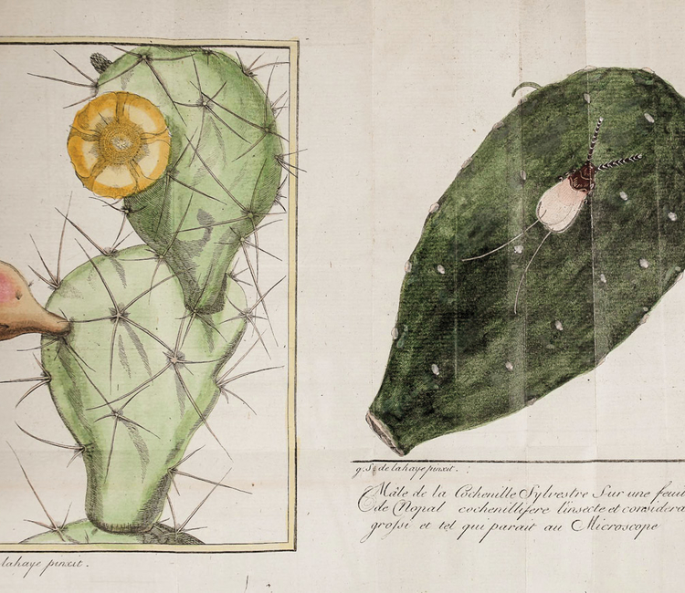 Nicolas - Joseph Thiery De Menonville, un botánico tras el misterio de la grana cochinilla