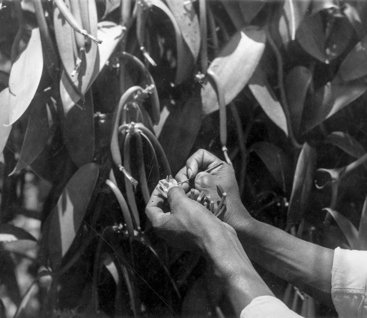La historia de la vainilla, un descubrimiento de los totonacas