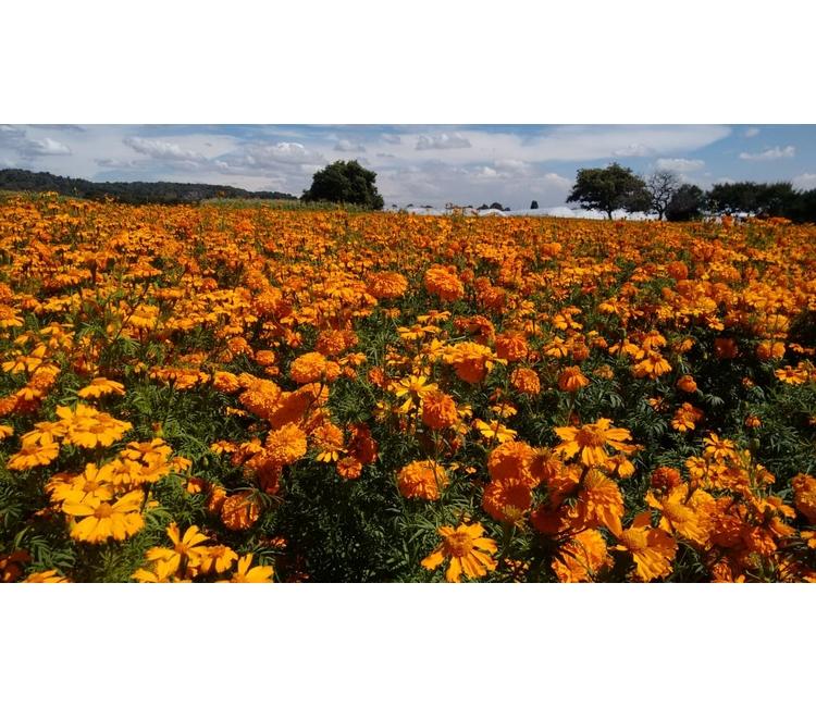 Flor de cempasúchil belleza, esencia y tradición