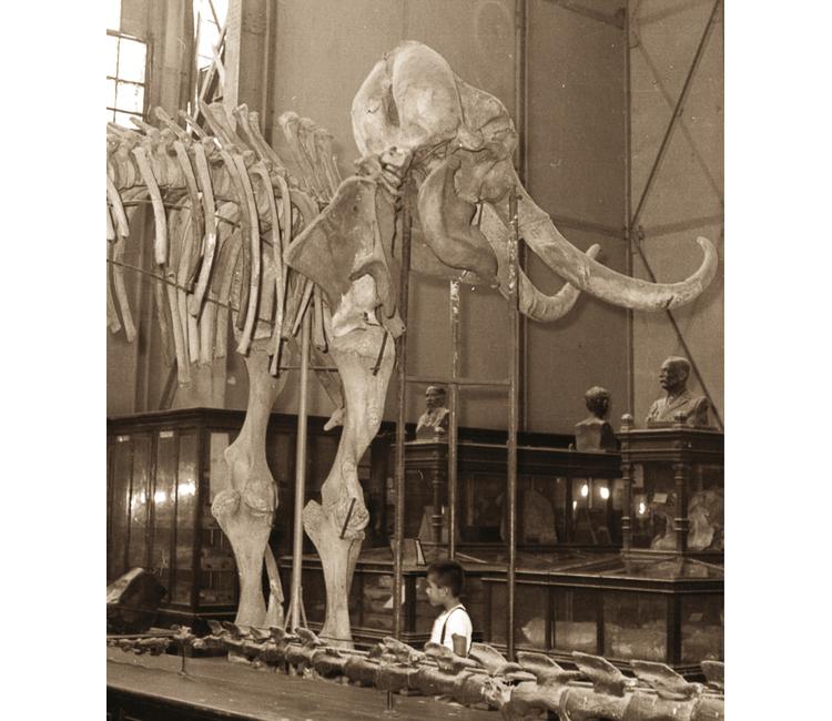 ¿Dónde quedó el colmillo del mamut gigante?