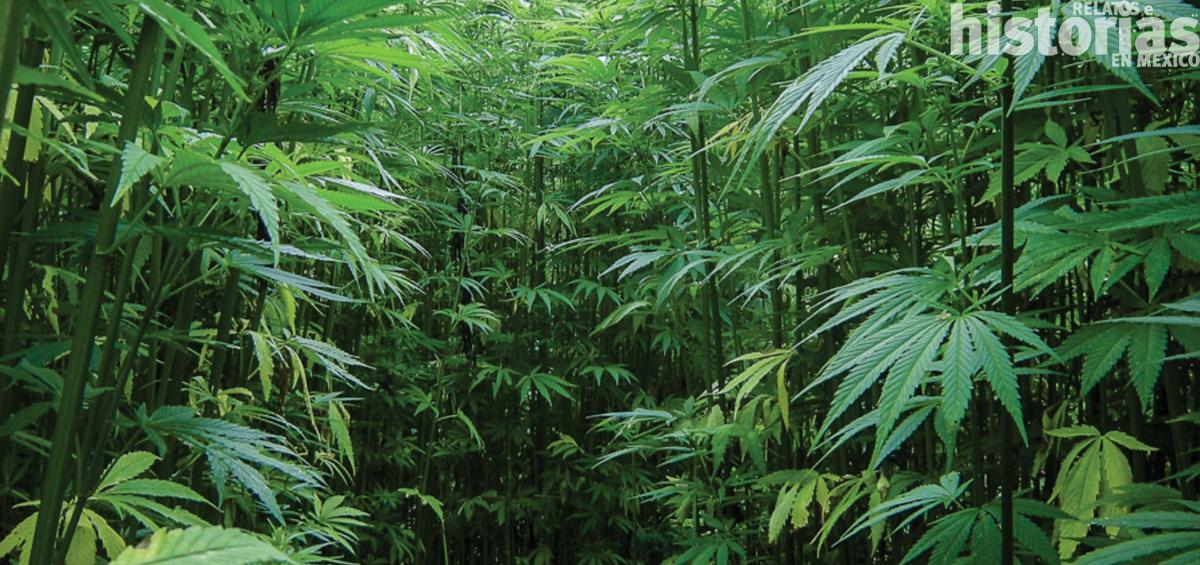 El cannabis llegó con los españoles