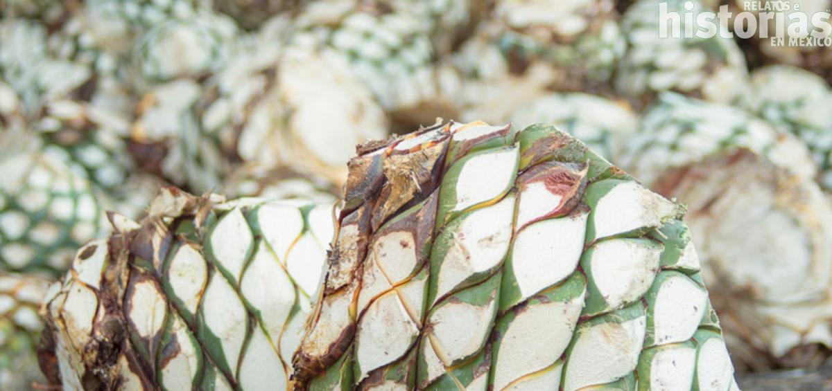 Magueyes oaxaqueños para la producción de tequila